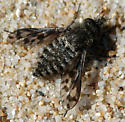 Conophorus collini - male