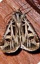 Dingy Cutworm Moth - Feltia jaculifera