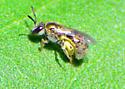 Shipley Bee Seeks ID - Lasioglossum actinosum