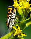 Halloween moth - Spragueia onagrus