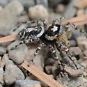 Jumping Spider - Phidippus comatus - male