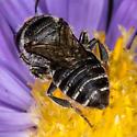 Leafcutter Bee - Megachile rotundata - female