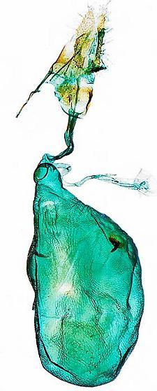 genitalia - Episimus argutana - female