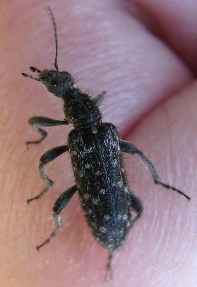 Anthicid species in California - Retocomus