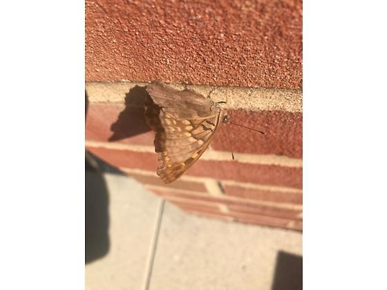 unknown butterfly  - Asterocampa clyton