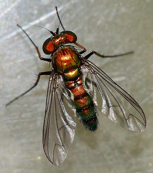Longlegged Fly - Condylostylus longicornis - female