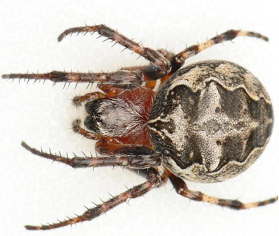 Dorsal view - Larinioides patagiatus - female