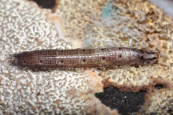 Diptera larva?