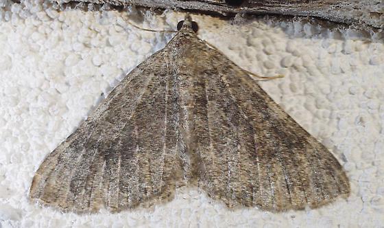 moth - Archirhoe neomexicana