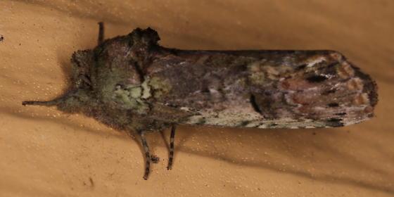 Schizura unicornis - Schizura