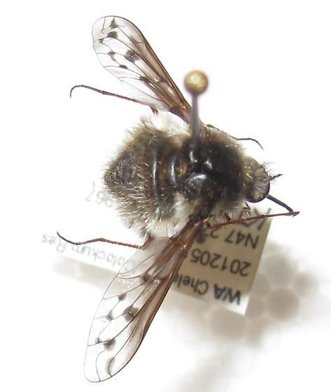 Bombyllidae 1 - maybe Bombylius albicapillus? - Bombylius