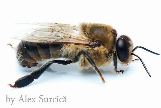 Honeybee (drone) & Varroa mite - Apis mellifera & Varroa destructor - Apis mellifera - male