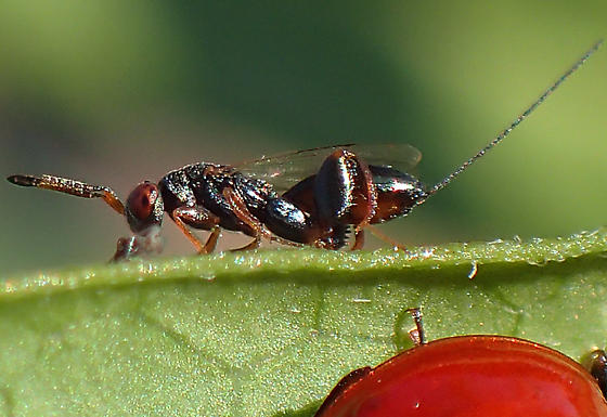wasp - Podagrion - female