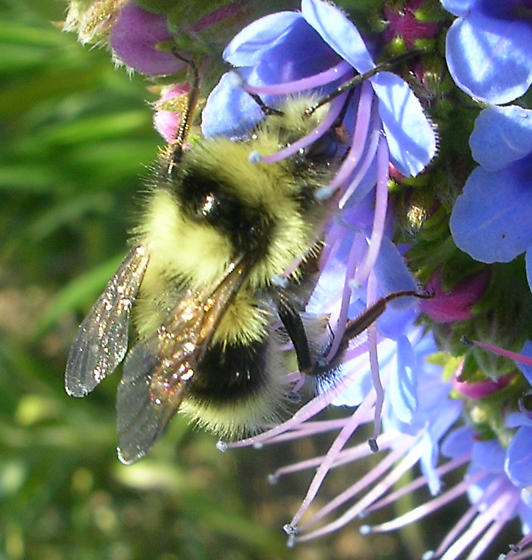 Bee - Bombus melanopygus - male