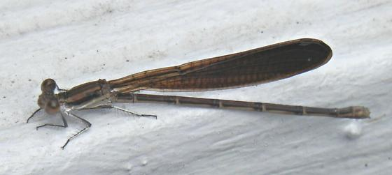 Is this a damselfly? - Argia fumipennis