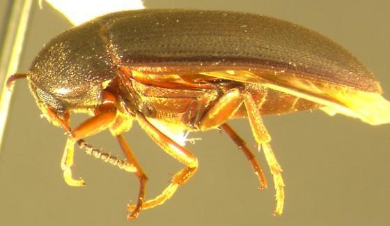 Eustrophopsis arizonensis (Horn) - Eustrophopsis arizonensis