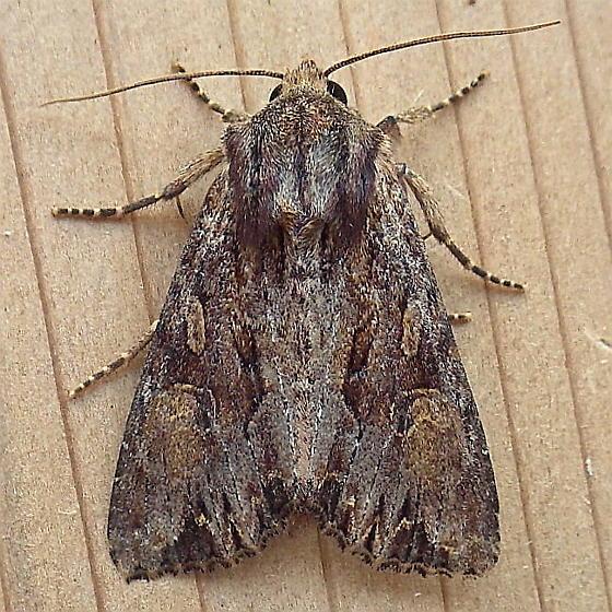 Noctuidae: Apamea sora - Apamea antennata