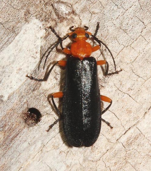 Pyrochroidae - Neopyrochroa femoralis