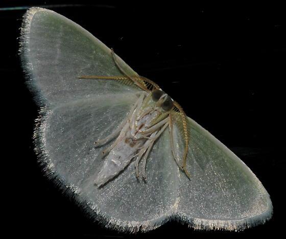 Greenish Moth (bottom view) - Synchlora aerata - male