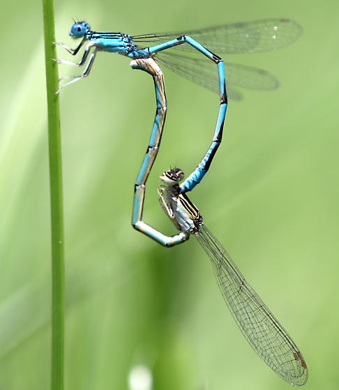 Double-striped Bluet - Enallagma basidens - male - female