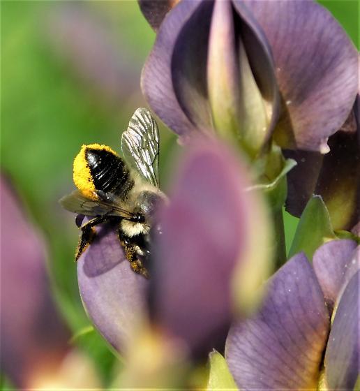 # 198 - Megachile - female