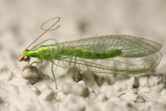 Green lacewing with red facial markings - Chrysoperla