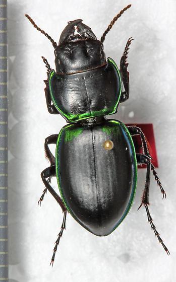 Carabidae - Pasimachus viridans