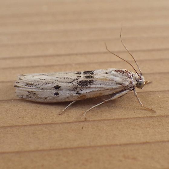 Pyralidae: Interjectio niviella - Interjectio niviella