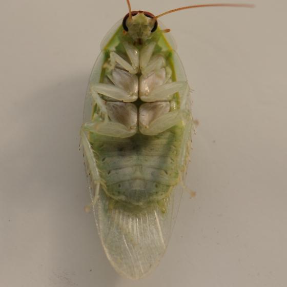 зеленый таракан фото поделитесь своей историей