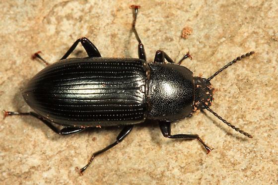 Darkling Beetle with shiny green elytrae - Centronopus calcaratus