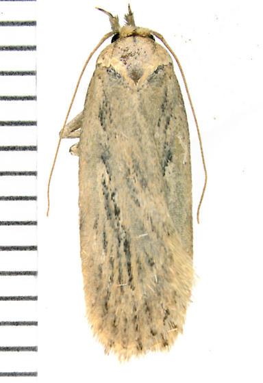 Depressariidae, Parsnip Webworm - Depressaria radiella