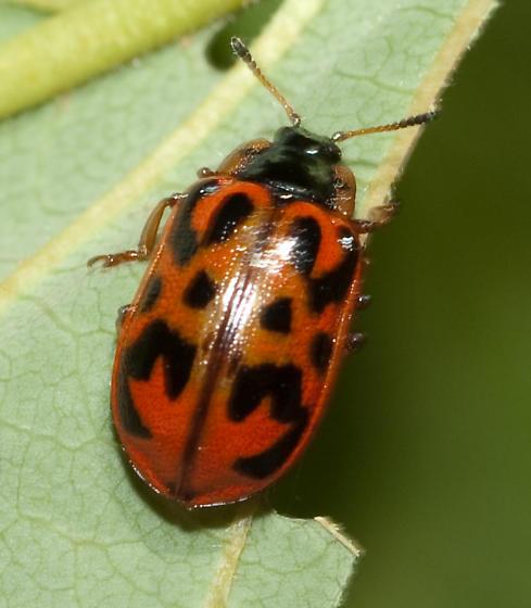 Leaf beetle - Chrysomela mainensis