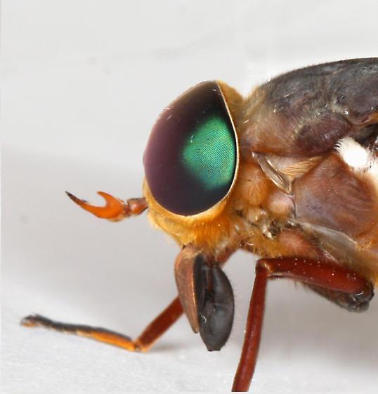 BG1677 E2153 - Tabanus americanus - female