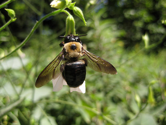 Big Bee latched onto a Nicotiana Alata flower - Xylocopa virginica - female