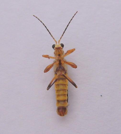 True bug? - Trypherus latipennis