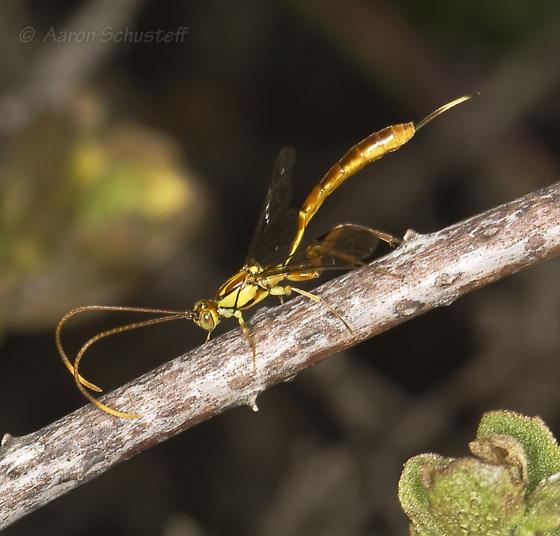 Another Grotea from Sweeney Ridge - Grotea californica - female
