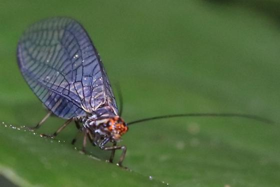 Unidentified Lacewing ? - Nothochrysa californica - female
