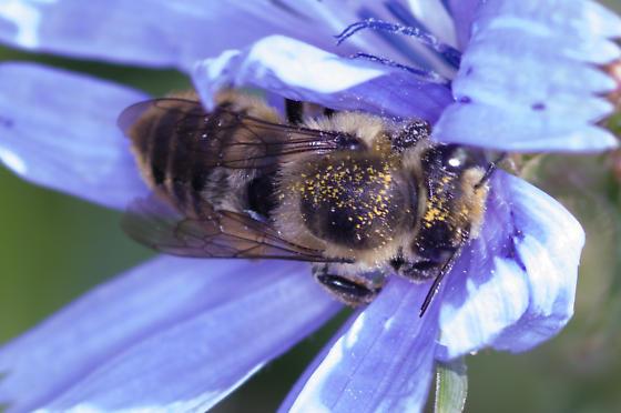 megachile on chickory - Megachile