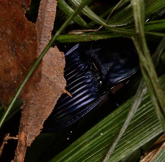 Pterostichus ? - Dicaelus purpuratus