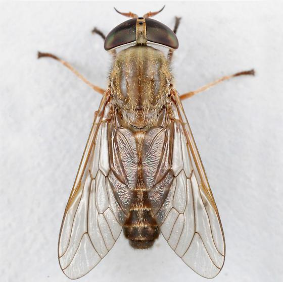 BG1731 D0860 - Tabanus sackeni - female