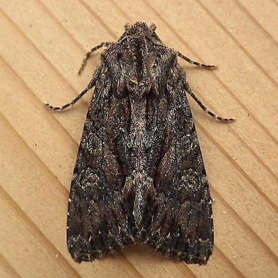 Noctuidae: Fishia discors - Fishia discors