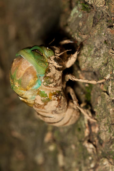 A Second Time Lapse of a Tibicen linnei Molting from a Different Angle - Neotibicen tibicen