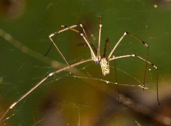 unidentified spider - Holocnemus pluchei