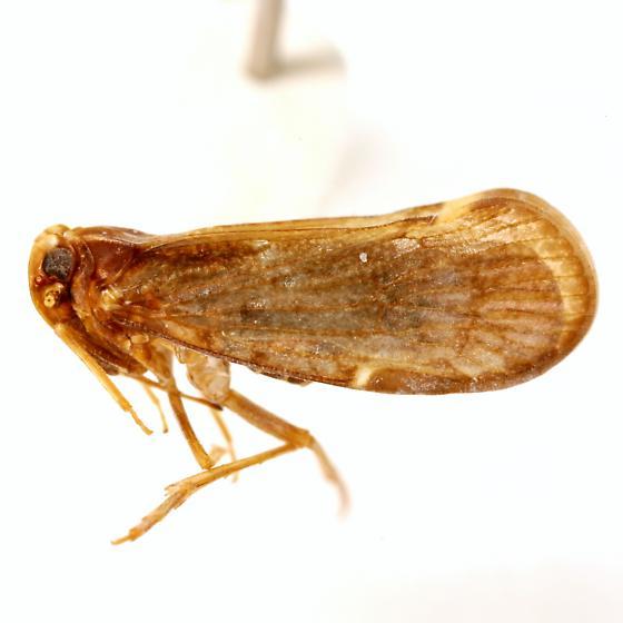 Pintalia vibex Kramer - Pintalia vibex