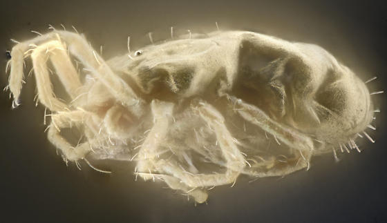 Rock lichen mite, latreral, HMDS treated