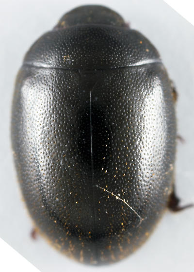 Wounded-Tree Beetle - Nosodendron unicolor