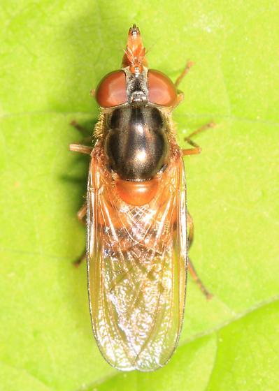 Rhingia nasica - female