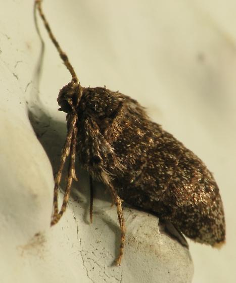 Winter Moth - female