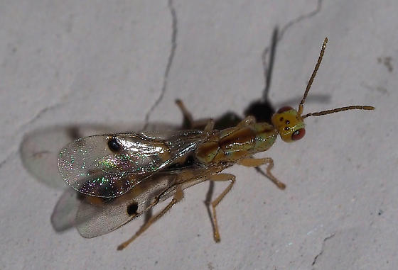 (Green Wasp, Red Eyes) Megastigmus transvaalensis, male?   - Megastigmus - male