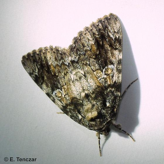 Underwing - Catocala ilia